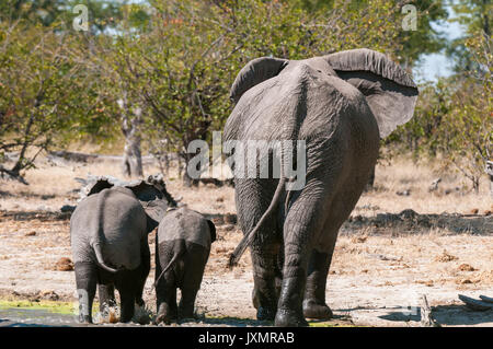 Adult and young elephants (Loxodonta africana), walking, rear view, Savute Channel, Linyanti, Botswana - Stock Photo