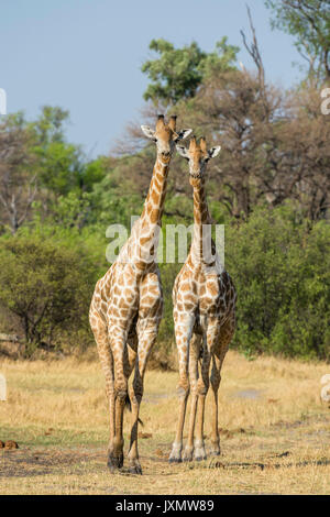 Portrait of two southern giraffes (Giraffa camelopardalis), Okavango Delta, Botswana, Africa - Stock Photo