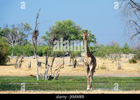 A Southern Giraffe (Giraffa camelopardalis) walking in the  Okavango Delta, Botswana, Africa - Stock Photo