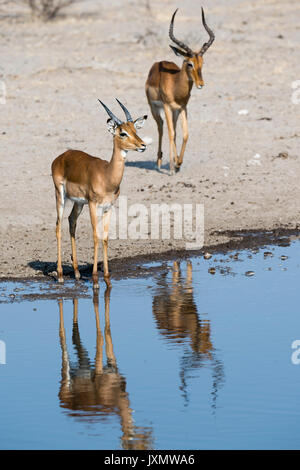 Two impala males (Aepyceros melampus), at waterhole, Kalahari, Botswana, Africa - Stock Photo