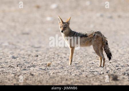 Portrait of Black-backed jackal (Canis mesomelas), Kalahari, Botswana  Africa - Stock Photo
