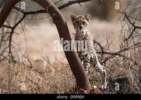 Portrait of aCheetah cub (Acinonyx jubatus), Samburu National Reserve, Kenya, Africa - Stock Photo