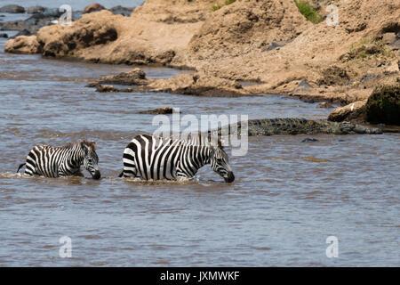 Grant's zebras (Equus quagga boehmi), crossing the Mara river, Masai Mara National Reserve, Kenya, Africa - Stock Photo
