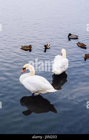 Two Swans stand in Water and Ducks Swim on Backdrop. Vertical Orientation. - Stock Photo
