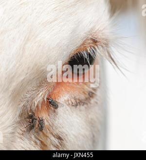 Cow eye with flies. - Stock Photo