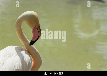 Portrait of a flamingo standing in the water - Stock Photo