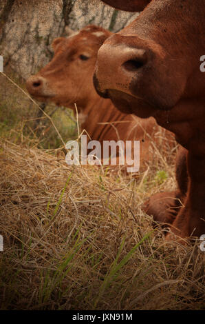 Red and brown cattle laying in rural farm pasture looking cute.  Beef herd raised on country ranch. - Stock Photo
