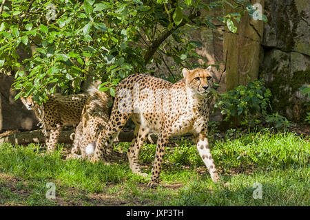 Group of cheetahs (Acinonyx jubatus), family with mother cheetah with cubs  Model Release: No.  Property Release: - Stock Photo