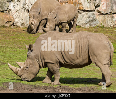 Southern White Rhinoceros or Southern Square-lipped Rhinoceros (Ceratotherium simum simum)  Model Release: No.  - Stock Photo
