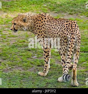 Cheetah (Acinonyx jubatus)  Model Release: No.  Property Release: No. - Stock Photo