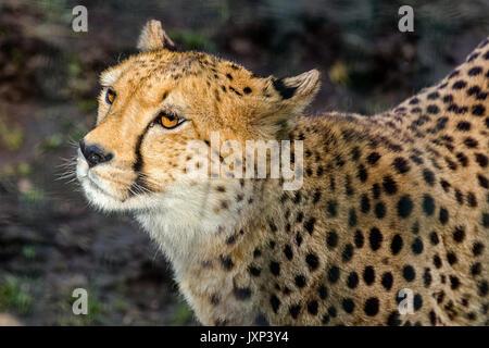 Close up headshot portrait of Cheetah (Acinonyx jubatus) in beautiful dappled light outdoors  Model Release: No.  Property Release: No. Stock Photo