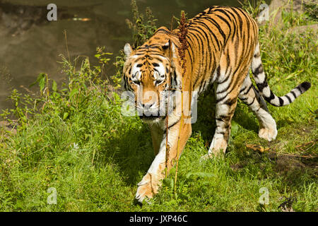 Siberian tiger (Panthera tigris altaica) aka Amur tiger  Model Release: No.  Property Release: No. - Stock Photo