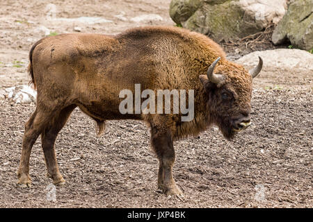 Young European bison (Bison bonasus) aka Wisent or the European wood bison  Model Release: No.  Property Release: - Stock Photo