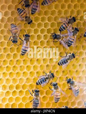 Western honey bee aka European honey bee (Apis mellifera)  Model Release: No.  Property Release: No. - Stock Photo
