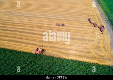 Aerial view of golden wheat field during harvest in summer. Combine harvesters and tractors with trailers working - Stock Photo