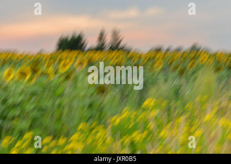 Field of sunflowers in the August evening at sunset, blurred focus. Summer background on different topics - Stock Photo