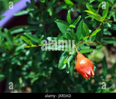 A single flower bud hangs on a dwarf pomegranate bush in a purple pot. - Stock Photo
