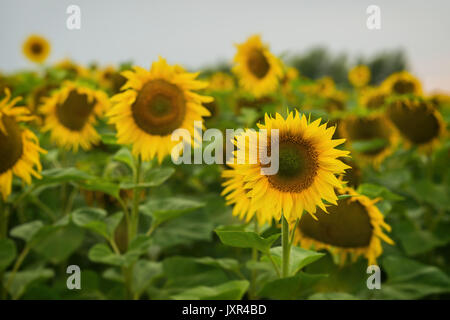 Sunflowers farm against sky during sunset. August evening after the rain. Beautiful summer background on different - Stock Photo