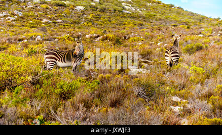 Grazing Zebras in Cape Point Nature Reserve on the Cape Peninsula in South Africa - Stock Photo