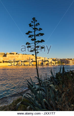 looking from manoel island over marsamxett harbour to valletta with agave blossom, malta - Stock Photo
