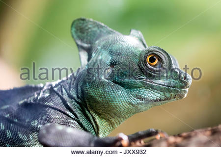 Close up of the Green Crested Basilisk (Basiliscus plumifrons). Also known as the jesus christ lizard as it can - Stock Photo