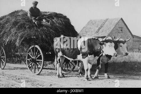 Full length sitting portrait of mature African American male sitting on pile of hay in wagon driven by two cows, - Stock Photo