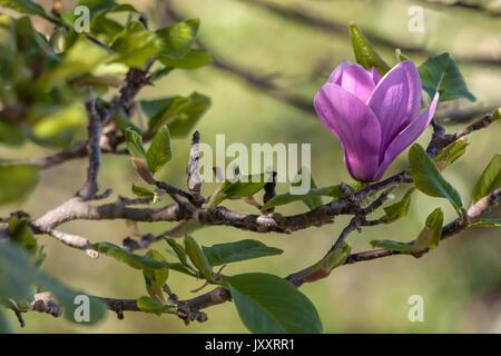 Red magnolia (Magnolia liliiflora) bloomed in spring - Stock Photo