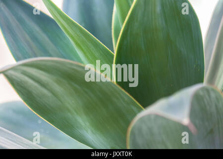 Close up of a species of agave, Agave attenuata - Stock Photo