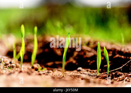 Grass blades grow out of the ground in a harsh environment - Stock Photo