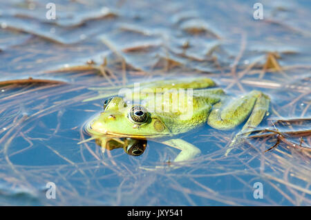 Pool Frog, Rana lessonae, Danube Delta, Romania, floating in water, - Stock Photo