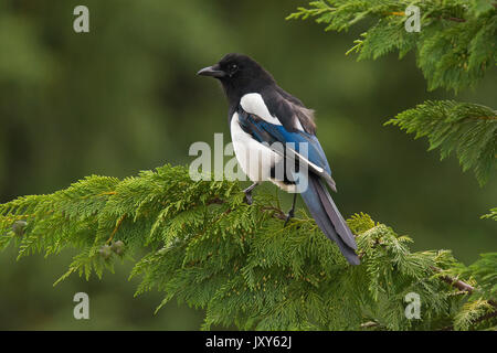 Eurasian magpie, common magpie, Pica pica, perched on conifer - Stock Photo