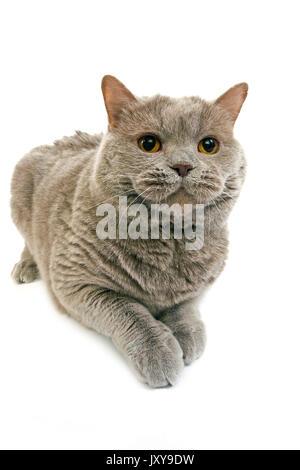 LILAC SELF BRITISH SHORTHAIR CAT, FEMALE AGAINST WHITE BACKGROUND - Stock Photo