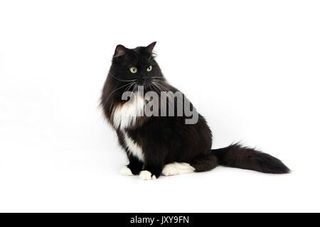 BLACK AND WHITE SIBERIAN CAT, FEMALE AGAINST WHITE BACKGROUND - Stock Photo