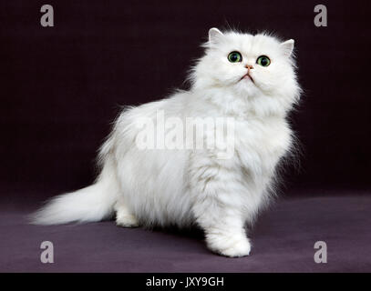 CHINCHILLA PERSIAN CAT, ADULT WITH GREEN EYES - Stock Photo