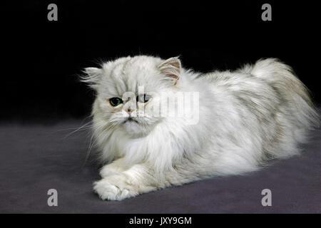 persian silver white chinchilla long haired pedigree cat