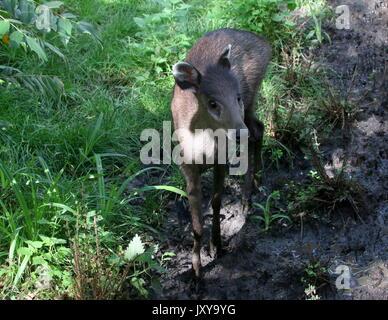 Close up of a  female Chinese Tufted Deer (laphodus cephalophus). - Stock Photo
