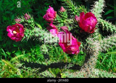 Blooming sonoran desert buckhorn cholla in a Padua private garden. - Stock Photo