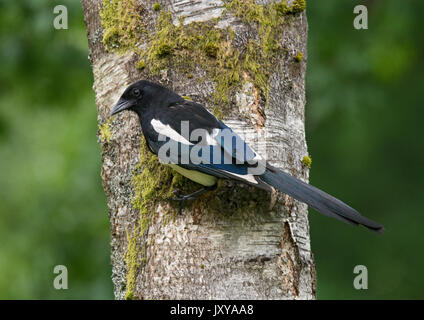 Eurasian magpie, common magpie, Pica pica, perched on silver birch tree trunk - Stock Photo