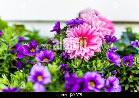 Macro closeup of light pink dahlia and purple calibrachoa flowers in crate on porch - Stock Photo