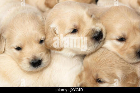 Group of 4 week old Golden Retriever puppies - Stock Photo