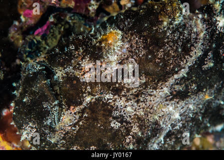 Commerson's frogfish, Antennarius commerson  (Lacepède, 1798), camouflaged in a stone. Depth 15m - Stock Photo