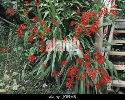 Flowering Crocosmia Lucifer plant in midsummer in an English garden - Stock Photo
