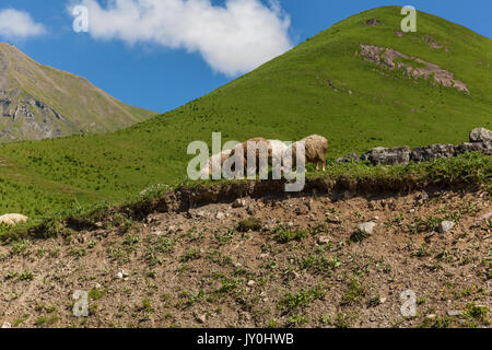 The herd of sheep grazes on green hills, Kazbegi and military Georgian road - Stock Photo