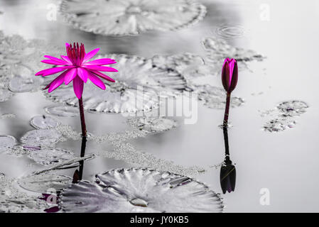 Purple Tropical WaterLily Stand Out with Black & White background - Stock Photo