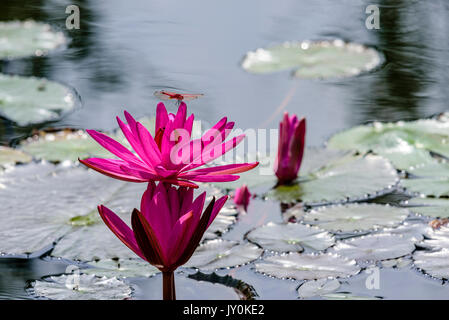 Three Waterlilies At Various Stages of Blooming; Life Ecosystem At A Pond - Stock Photo