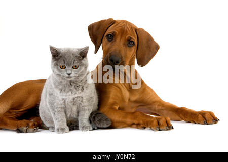 BRITISH SHORTHAIR LILAC MALE CAT AND RHODESIAN RIDGEBACK 3 MONTHS OLD PUPPY - Stock Photo