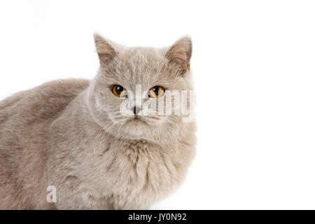 LILAC BRITISH SHORTHAIR, ADULT FEMALE AGAINST WHITE BACKGROUND - Stock Photo