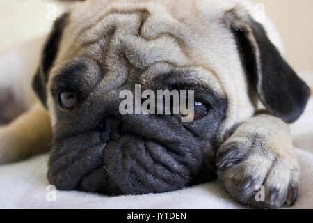 Sad puppy pug looking with big eyes - Stock Photo
