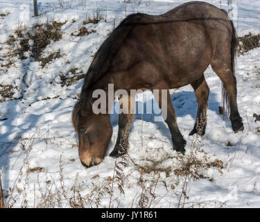 Horse eating dried grass from under a layer of fresh snow, near Tsurui Village, Hokkaido, Japan - Stock Photo