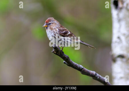 lesser redpoll  (Acanthis cabaret) perched on a branch - Stock Photo